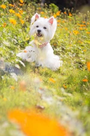 white dog: westie dog with flower background Stock Photo