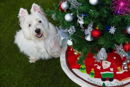 cute westie: cute westie dog with christmas tree