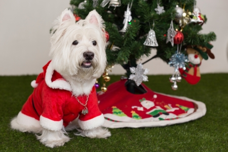 white dog: smart dos in santa outfit and christmas tree background Stock Photo