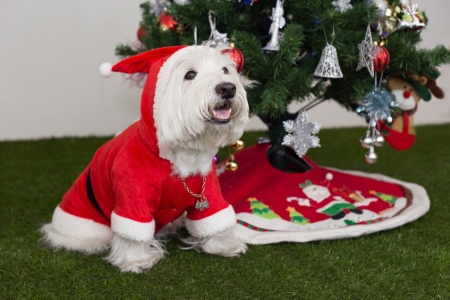 white dog: westie dos in santa outfit and christmas tree background Stock Photo