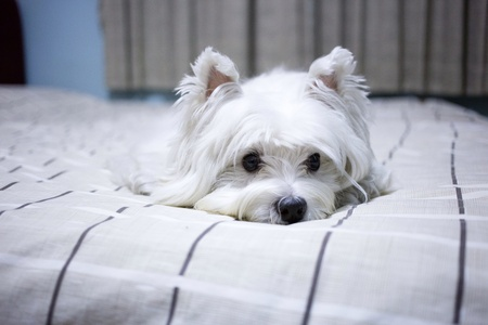 white dog: Cute westie dog on the bed