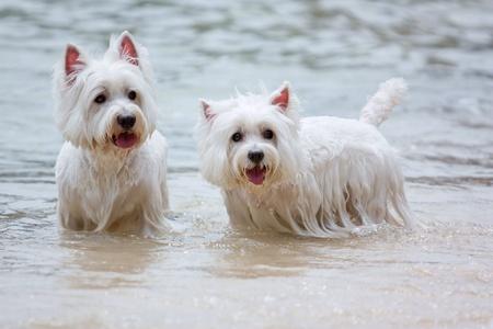 white dog: Couple westie dog having fun on the beach