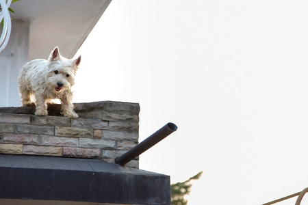 white dog: Westie dog stand at home terrace. Stock Photo