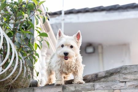 Westie hond staan ??thuis terras. royalty vrije foto plaatjes