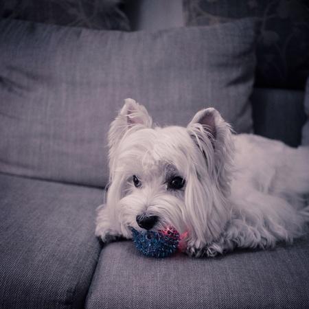 possessive: Westie dog possessive glow ball toy