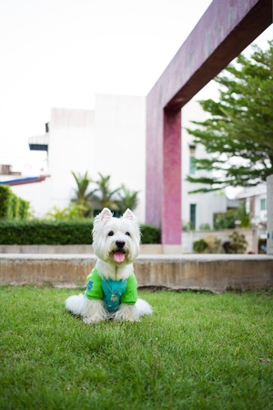 white dog: Cute westie dog black and white color