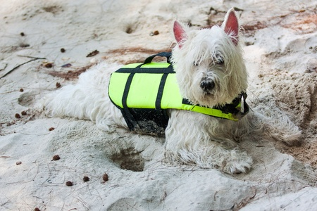 white dog: Westie dog have fun at the beach.