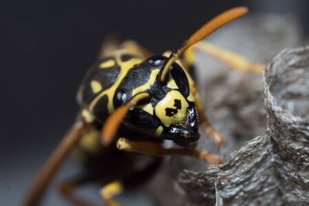 A young Paper Wasp Queen builds a nest to start a new colony. Macro photo