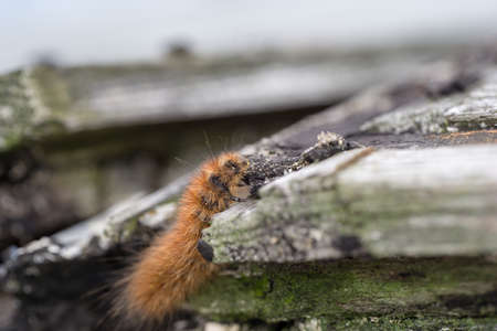 karasa bear - caterpillar. Butterfly larva