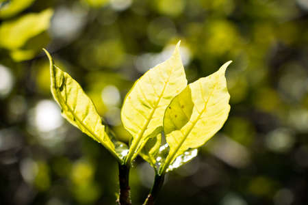 light transmission: Close up of the spring Young leaves expelled