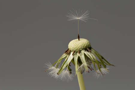 Dandelion (Taraxacum sect. Ruderalia) Pusteblume Detail Stock Photo