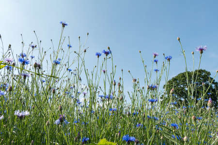 fever plant: Meadow with blue flowering cornflower (Cyanus segetum Hill) and blue sky