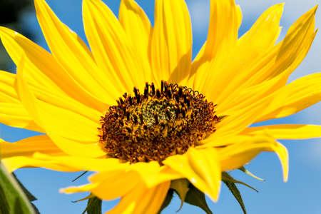 helianthus: Gold yellow blooming sunflower (Helianthus annuus)