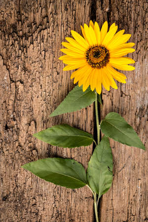 helianthus: Sunflower (Helianthus annuus) on a vintage wooden background