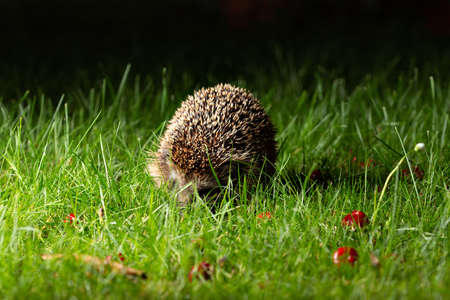 Hedgehog on the grass in the garden at night Stock Photo