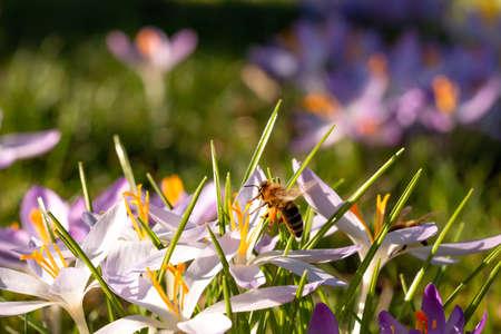 Crocus, Crocus, Iris family on green spring meadow