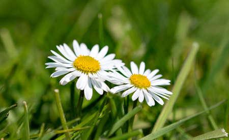 Daisy (Bellis perennis) in a lush meadow