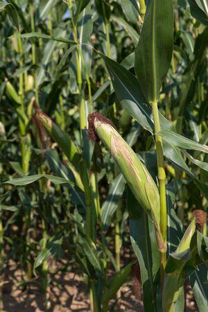 champ de maïs: Ripe corn plant in a green cornfield