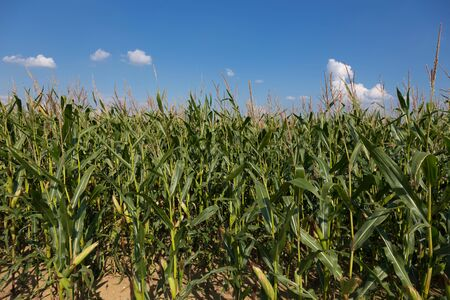 champ de maïs: Cornfield with sunshine and blue skies