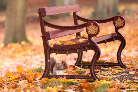 Squirrel under a bench in an autumn park