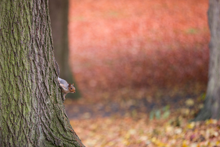 Squirrel is climbing on a tree in autumn