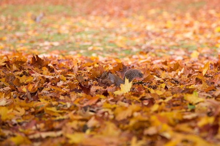 Squirrel in an autumn park between leaves
