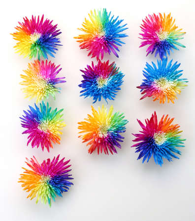 Rainbow multicolored Chrysanthemums on white backround — geometrical design composition