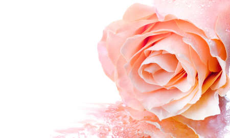 Delicate pink rose with water drops
