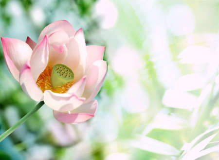 buddha tranquil: Shiny Pink Lotos — exotic tropical flower on light green backround Stock Photo
