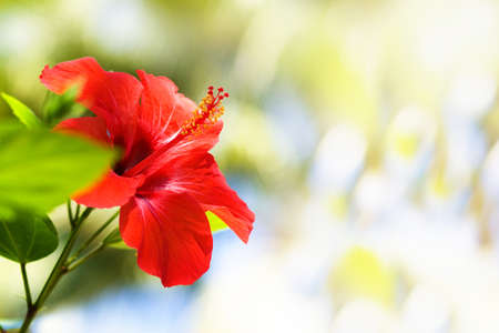 Beautiful red hibiscus on blur sunny light background