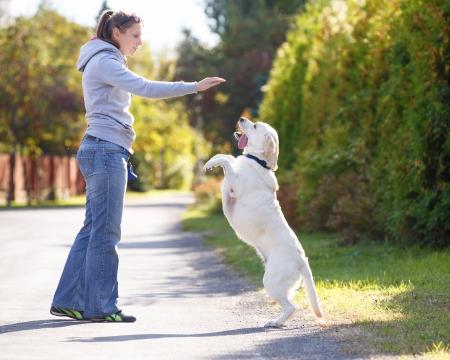 Beautiful woman training dog breed labrador retriever Standard-Bild