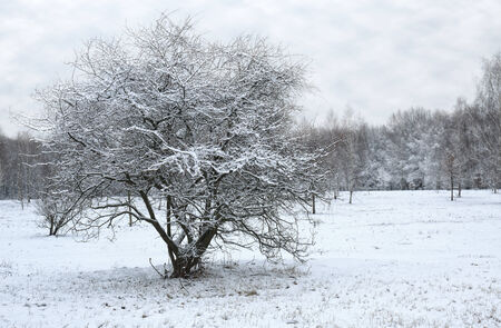 capped: Lonely snow capped tree  Stock Photo
