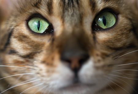 depth of field: Portrait of a cat Bengal. Small depth of field
