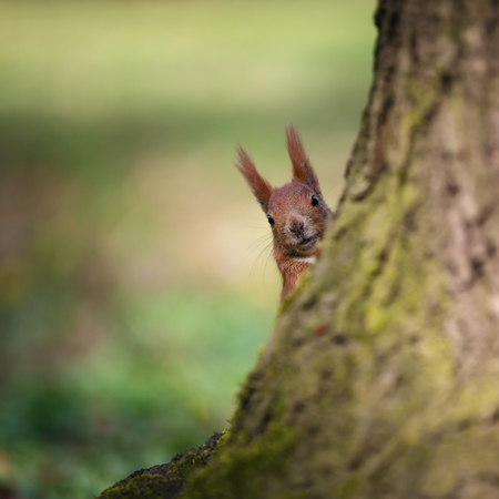depth of field: Squirrel looking from behind a tree. Small depth of field
