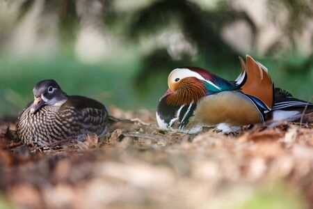 depth of field: A pair of mandarin ducks. Small depth of field