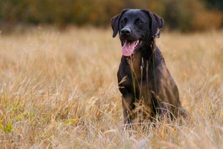 Noir labrador retriever assis sur la prairie d'automne