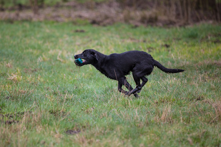 Hond op de vlucht. Hondenras Labrador Retriever Stockfoto