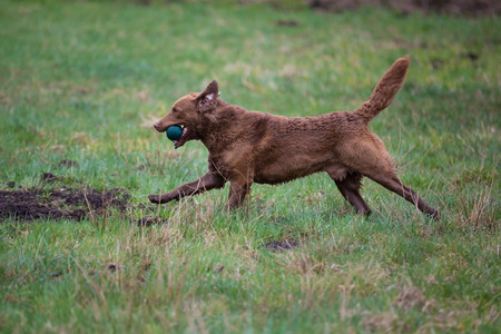 Dog on the run. The dog breed Chesapeake Bay Retriever Stock Photo