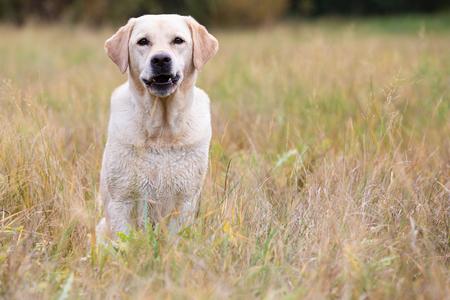 Bright labrador retriever sitting on the autumn meadow
