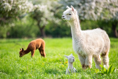 White Alpaca with offspring, South American mammal Stok Fotoğraf - 101198852