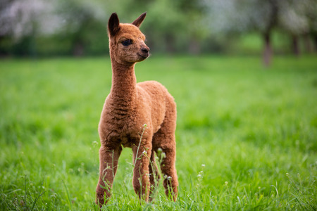 Portrait of a young Alpaca, a South American mammal