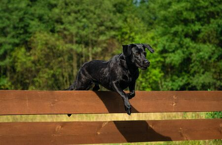 Black Labrador Retriever jumping over a wooden obstacle Stockfoto