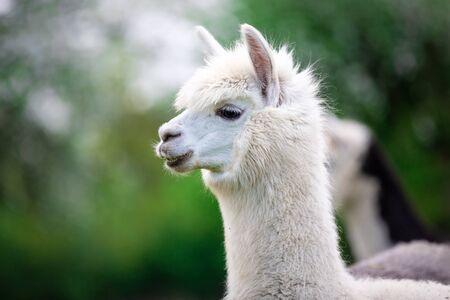 Portrait of a white Alpaca, a South American mammal Stock Photo - 147418915