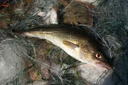 flukes: Lately from Baltic sea catched out cod.