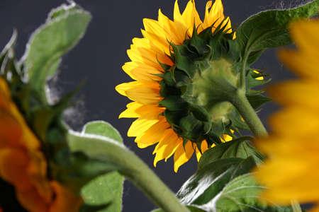 enchanting: Sunflower on the dark background in studio Stock Photo