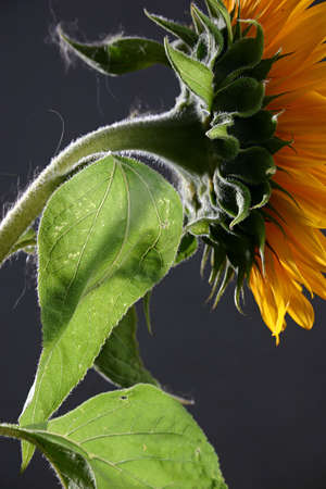 attentions: Sunflower on the dark background in studio Stock Photo