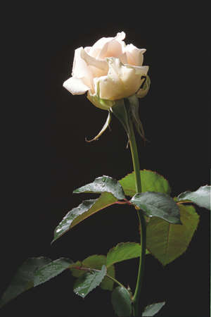 attentions: Cream-color rose in studio on the dark background