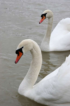 White swan,  symbol of silence and grace photo