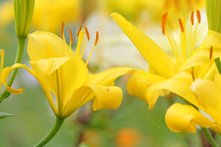 spider net: Yellow lillies with spider net in summer day. Stock Photo