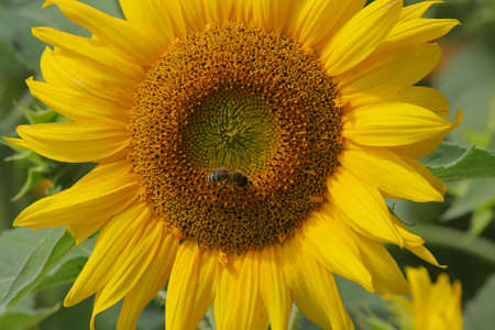 One sunflower with bee in summer day. photo